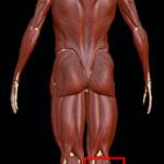 back-calf-150x150